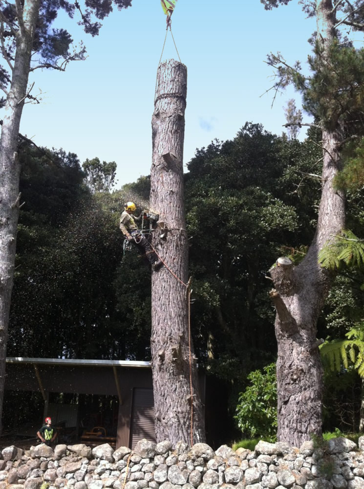Aborist removing a dangerous tree in Whangarei